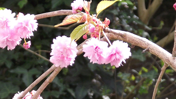 More blossom flowers now on my potted cherry tree