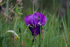 Champêtre : Iris en visite chez les herbes