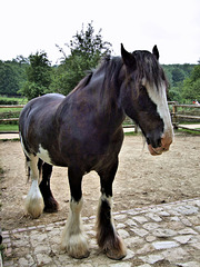 Shire horse - Singleton Weald and Downland Museum