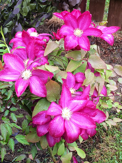 Clematis in bloom