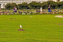 Maulwurf-Möwen / Molehill Seagulls / Mouette rieuse de taupinières