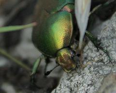 Cetoniinae