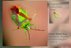 Green Shield  Bug Palomena prasina - East Blatchington - 1.5.2014