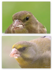 Now you know Greenfinches have eyebrows!