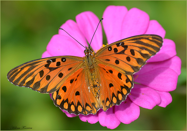 Captured Saturday. Here is autumn and butterfly still visting me.