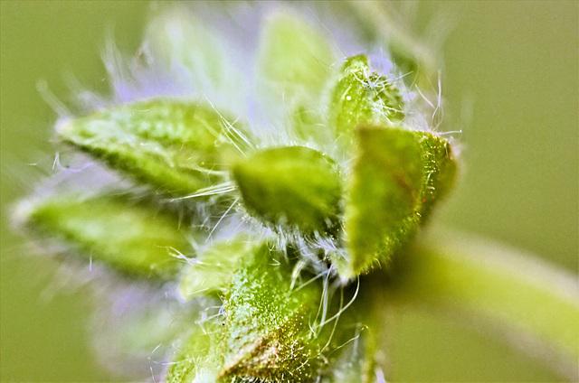 Dwarf Antirrhinum flower buds