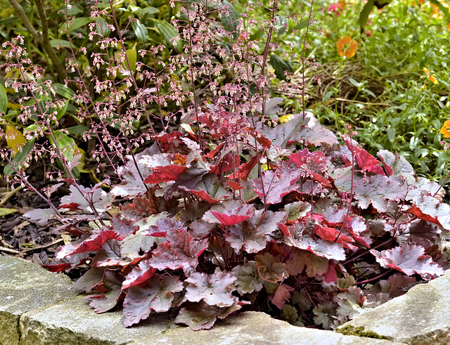 Heuchera flowering