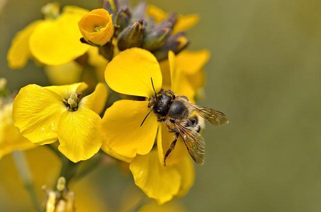 Wallflower  Erysimum and a Bee