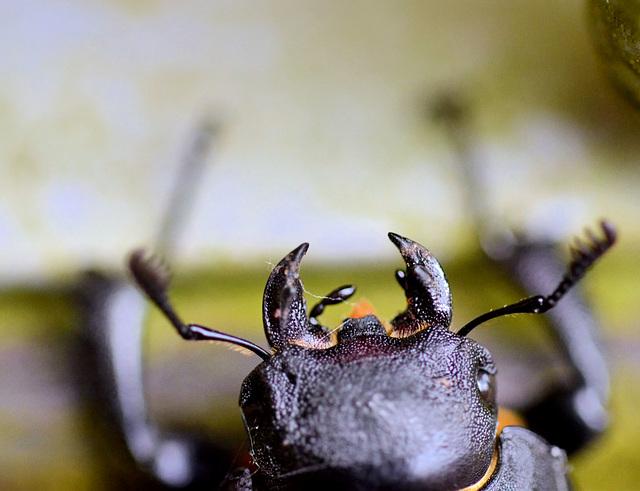 Stag Beetle head