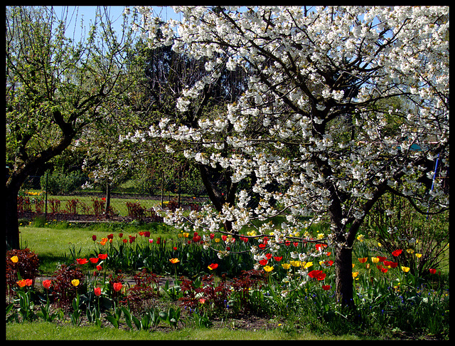 Cherry- and Tulip - Heyday