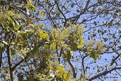 20120209-5720 Buchanania cochinchinensis (Lour.) M.R.Almeida