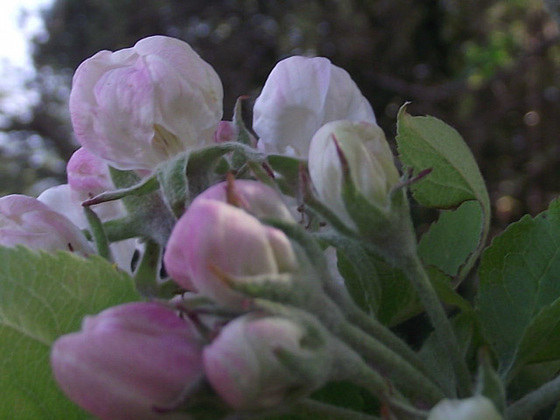 My apple blossom
