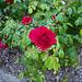 Pour vous cette rose...