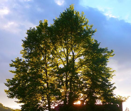 Abensonne im Lindenbaum - vespersuno en la tilio