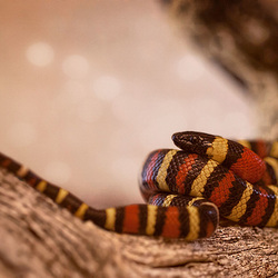K is for Killer Kingsnake (+ 10 more inset images!)