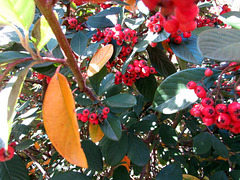 Coloured Leaves and Berries