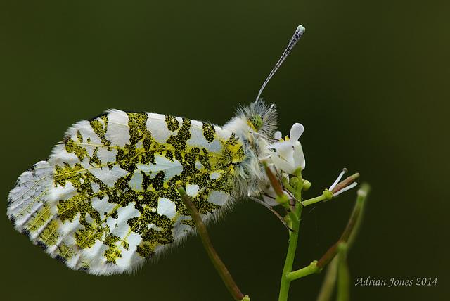 Anthocharis cardamines (Female)