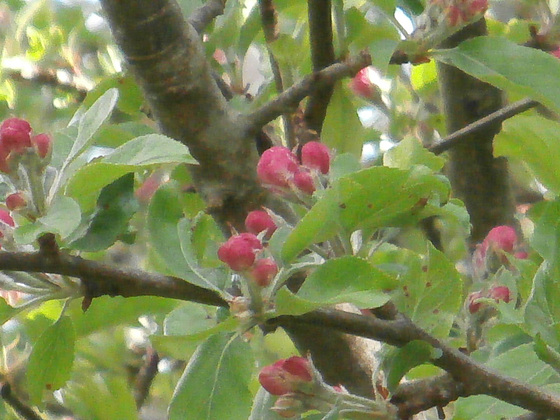 The apple blossom soon to be out