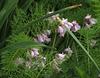 .. ringing bells of  Pink Hyacinthoides hispanica ..
