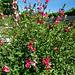 Fleurettes en buisson :Salvia microphylla