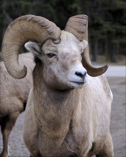 Bighorn Ram 01 20140410