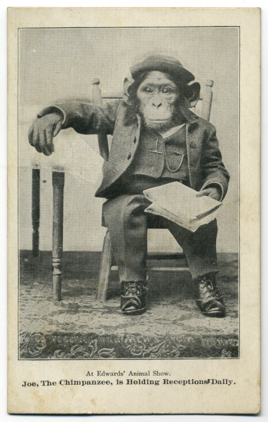Joe the Chimpanzee Is Holding Receptions Daily