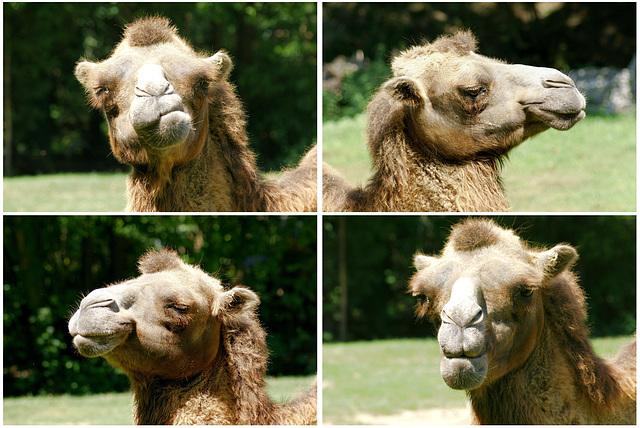 Portraits eines Camel-Charakterkopfes.  ©UdoSm