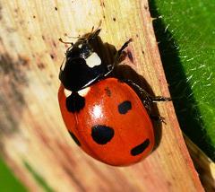 Seven-Spot Ladybird, Coccinella 7-punctata