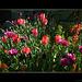 Tulpen(alarm) :-)