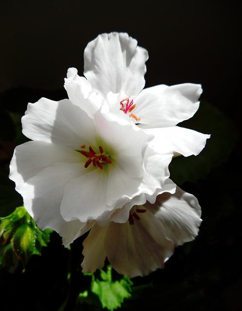 Pelargonium grandiflorum lotus