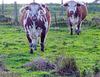 English Longhorn cattle.
