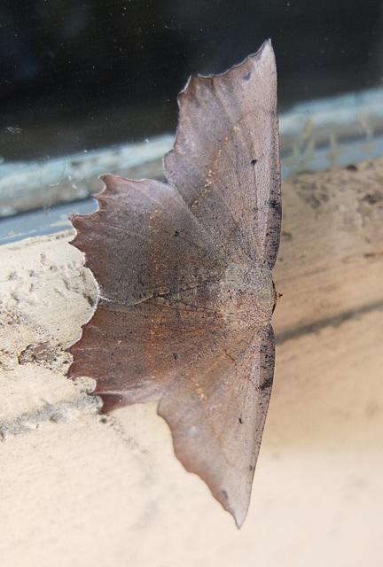 Flake-of-paint moth