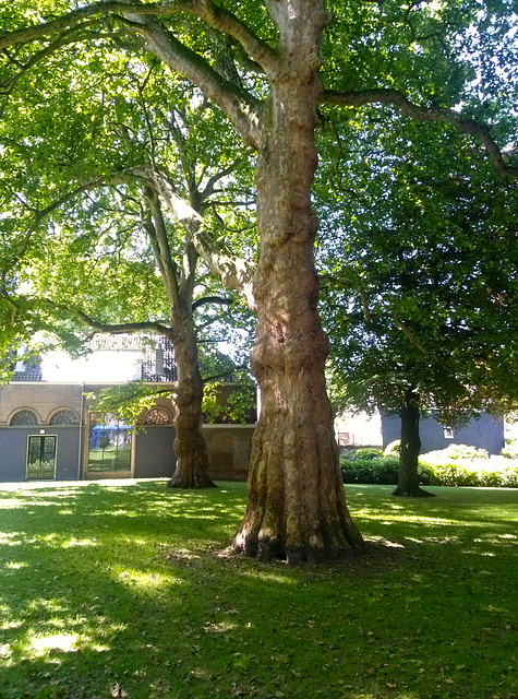 Platanus trees in the garden of the Dordts Museum