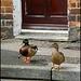 ducks on the doorstep