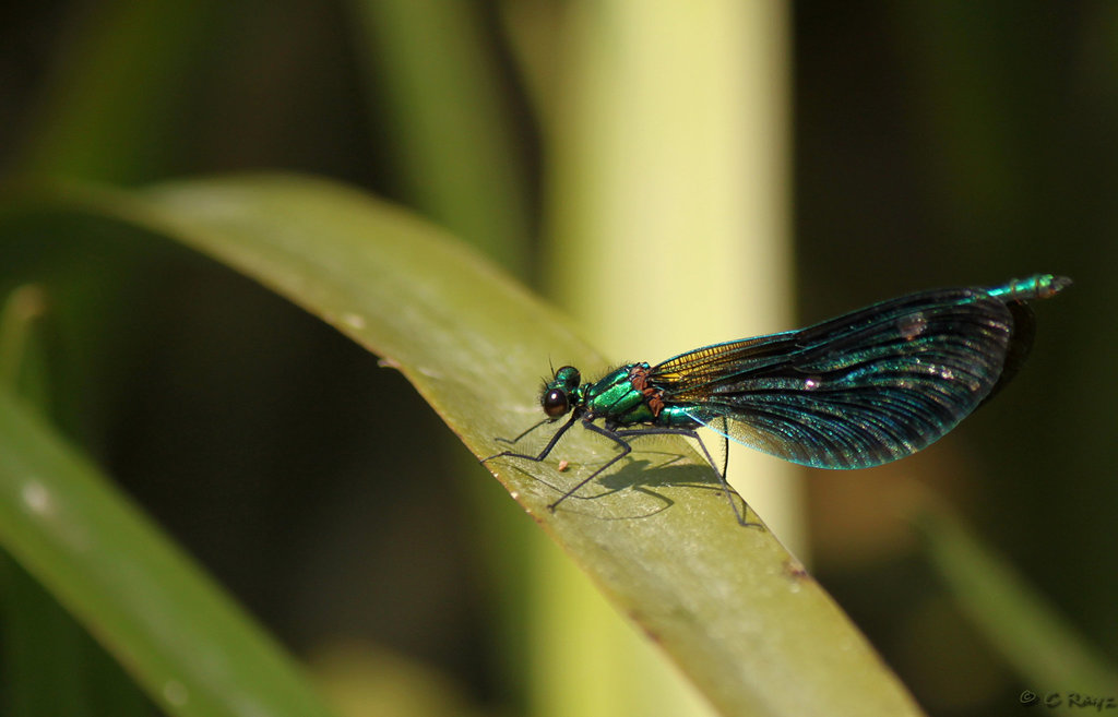Beautiful Demoiselle Male