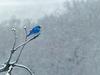 Little Bluebird on a snowy day