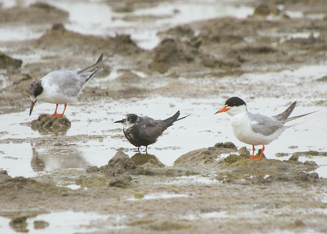 Black and Forster's Terns