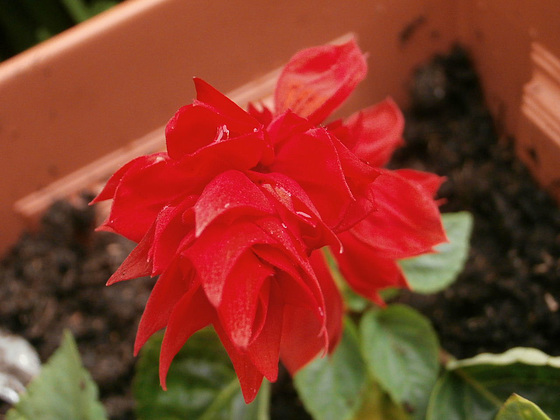 New red salvia