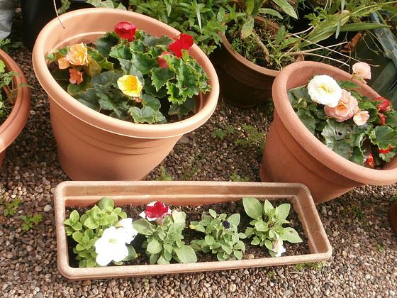 New Begonias and Petunias,