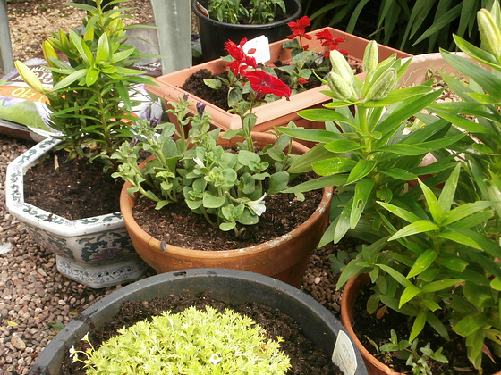 Some new stocks, antirrhinum [snap dragons] and lilies
