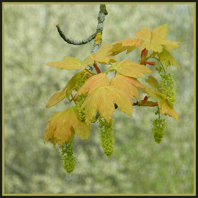 sycamore catkins