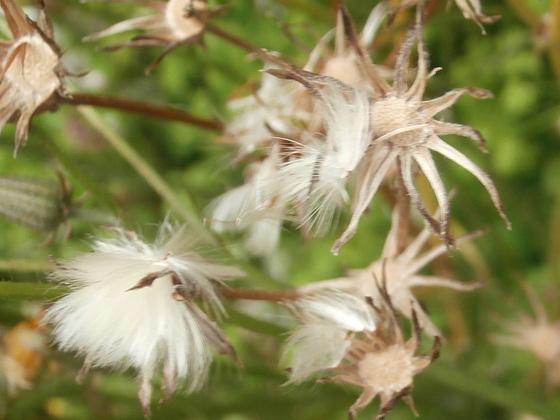 Funny cottony flower