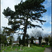 Cowley churchyard pine