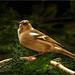 Bergfink
