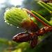 Dew on spruce tip  / Tropfen auf Fichtenspitze