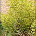 Euphorbia martinii 'Ascot Rainbow'