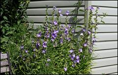 Campanula grandiflora