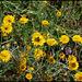 Fleurs ( Anthemis ) très occupées