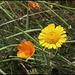Anthemis tinctoria (2)