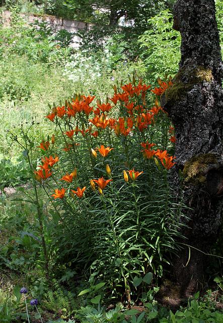 Lilium bulbiferum (2)